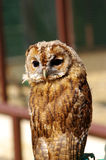 Young Tawny Owl on perch Stock Photo