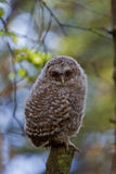 Young Tawny owl Stock Images