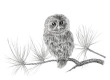 Young Tawny owl Strix aluco on a coniferous tree branch Royalty Free Stock Image