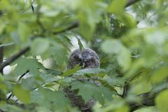Young tawny owl Strix aluco hidden in leaves of a tree. A young tawny owl Strix aluco hidden in green leaves of a tree. Stock Images