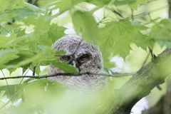 Young tawny owl Strix aluco hidden in leaves of a tree. Royalty Free Stock Photos