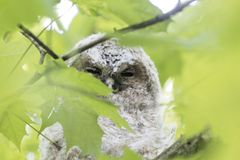 Young tawny owl Strix aluco hidden in leaves of a tree. Stock Image