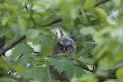 Young tawny owl Strix aluco hidden in leaves of a tree. Royalty Free Stock Image