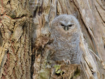 Young Tawny Owl - Strix Aluco stock photos