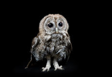 Young tawny owl Stock Photo
