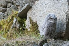 A young Tawny owl, Strix aluco, waiting for his parents` food, rural setting royalty free stock images
