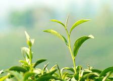 A young tea leaf Royalty Free Stock Image