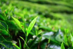 Young Tea Leaves in Cameron Highlands stock photos