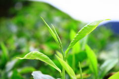 Young tea leaves in Cameron highlands stock photography