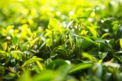 Tea bushes brighten in the morning sunlight royalty free stock photo