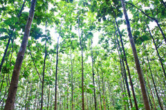 Young teak forest Stock Photography