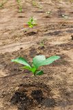 Young teak on green Royalty Free Stock Photography
