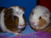 Two Young Guinea Pig on blanket stock photos
