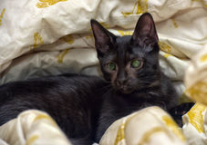 Young teen shorthair kitten with eye problems, impaired Royalty Free Stock Photography