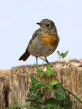 Young teenage robin Stock Images