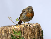 Young teenage robin Royalty Free Stock Image