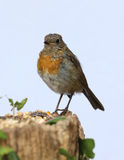 Young teenage robin Stock Photography