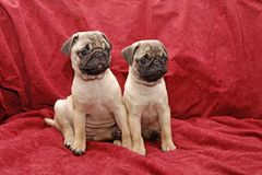 Young ten weeks old female pugs. Sitting on a red sofa royalty free stock photography