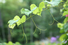 Young tender green grapevine Stock Image