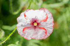Young tender pink poppy Stock Photo