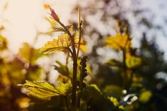 Young tender shoots and leaves of grapes on the vine in spring. royalty free stock photo