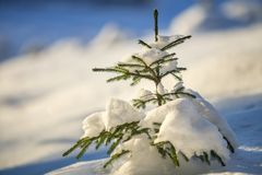 Young tender spruce tree with green needles covered with deep snow and hoarfrost on bright colorful copy space background. Merry royalty free stock image