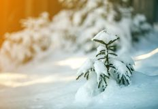 Young tender spruce tree with green needles covered with deep snow and hoarfrost on bright colorful copy space background. Merry. Christmas and Happy New Year royalty free stock image