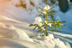 Young tender spruce tree with green needles covered with deep snow and hoarfrost on bright colorful copy space background. Merry. Christmas and Happy New Year stock images