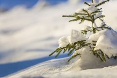 Young tender spruce tree with green needles covered with deep snow and hoarfrost on bright colorful copy space background. Merry. Christmas and Happy New Year royalty free stock photography