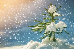 Young tender spruce tree with green needles covered with deep snow and hoarfrost and large snowflakes on blurred blue colorful. Copy space background. Merry royalty free stock photos