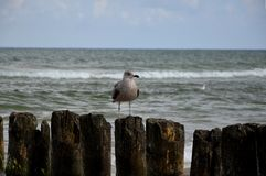 Young tern. On the breakwater at Baltic sea Royalty Free Stock Images