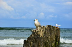 Young tern. On the breakwater at Baltic sea Royalty Free Stock Photo