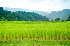 Young terrace rice plantation in a Karen village, Thailand Royalty Free Stock Image