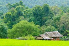 Young terrace rice plantation in a Karen village, Thailand Royalty Free Stock Images
