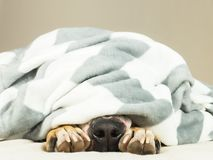 Nose and paws of lazy or sic pet dog sticking out of clean white throw blanket. Young terrier dog covered in plaid resting indoors in clean tidy minimalistic Stock Photos