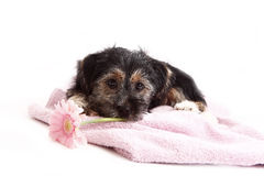 Young Terrier Mix on the blanket Stock Photography