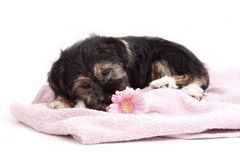 Young Terrier Mix on the blanket Royalty Free Stock Photo