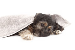 Young Terrier Mix on a blanket Royalty Free Stock Photos