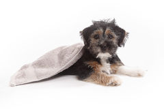 Young Terrier Mix on a blanket. In front of a white background stock image