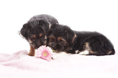 Young Terrier Mix dogs on the blanket Royalty Free Stock Images