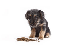 Young Terrier Mix eats dog food Royalty Free Stock Images