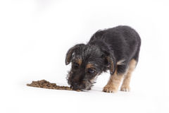 Young Terrier Mix eats dog food Stock Photos