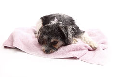 Young Terrier Mix lying on the blanket Stock Image