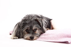 Young Terrier Mix lying on the blanket Royalty Free Stock Images