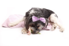 Young Terrier Mix lying on the blanket Stock Images