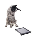 Young Texas Heeler looking at a computer tablet Royalty Free Stock Images