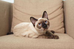Young Thai cat sitting on sofa Stock Image