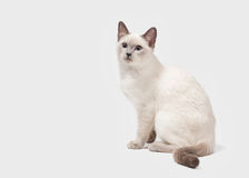 Young Thai cat on white background Stock Photos