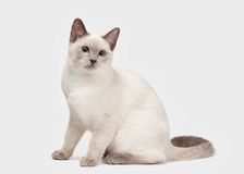 Young Thai cat on white background Royalty Free Stock Images