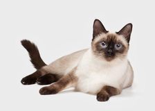 Young Thai cat on white background Royalty Free Stock Photos
